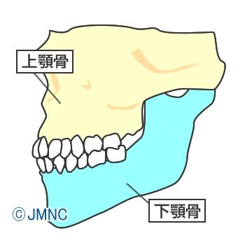 上顎と下顎の骨の成長の違い
