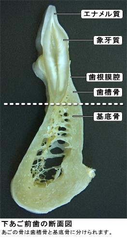 歯槽骨と基底骨の違い